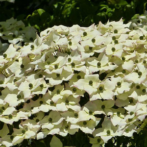 Best spring flowering trees to plant in dayton ohio arbor experts beauty and multi seasonal interest of the korean dogwood cornus kousa 15 30 feet large white or russet pink flowers appear in late spring followed mightylinksfo