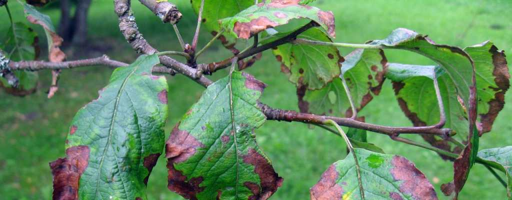 fire blight on pear leaves