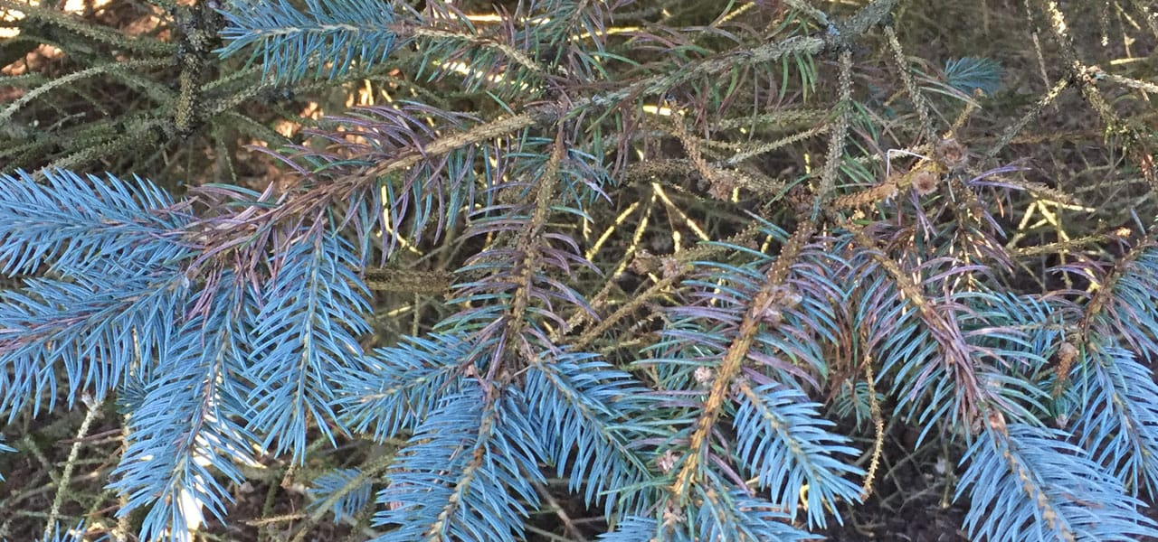 rhizosphaera needle cast disease on blue spruce branch