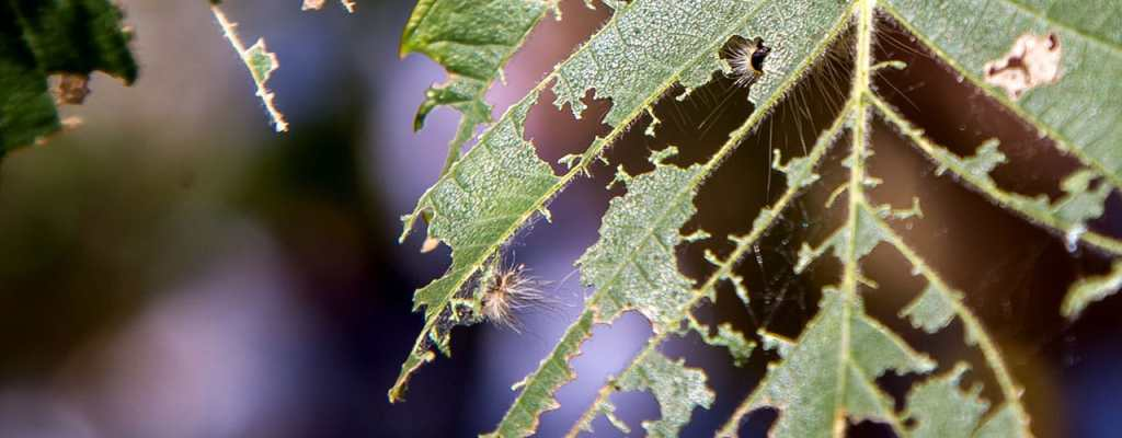 worst tree pests in dayton area - leaf eaten by caterpillar