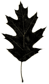 Stylized photograph of Northern Red Oak leaf by Alison Kilpatrick 2011; representing the strength and breadth of connection in family and local history.