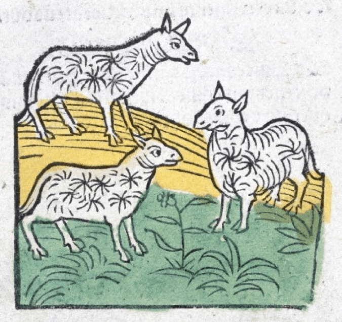 15th century woodcut of sheep.