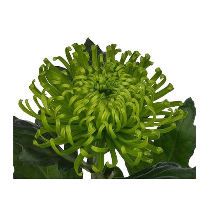 chrysanthème shamrock