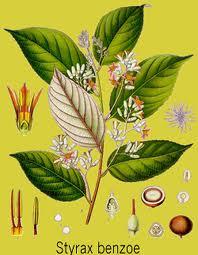 Le Benjoin ou Aliboufier est un arbre sacré qui pousse en Asie du sud-est, à Sumatra et en Malaisie.