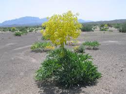 galbanum_plante