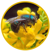 California Mason Bee