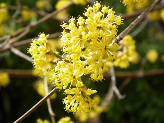Cornelian Cherry (Cornus mas)