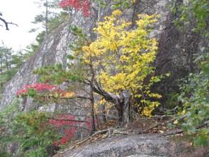 Hamamelis virginiana: autumn foliage