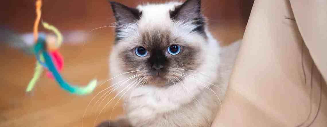 chat-sacre-birmanie