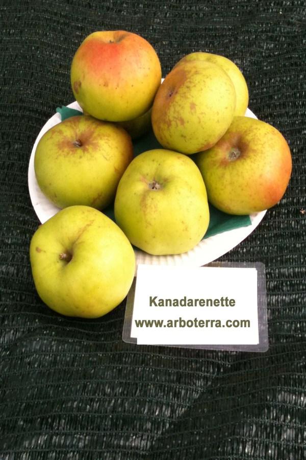 Kanadarenette - Apfelbaum – Alte Obstsorten Arboterra GmbH