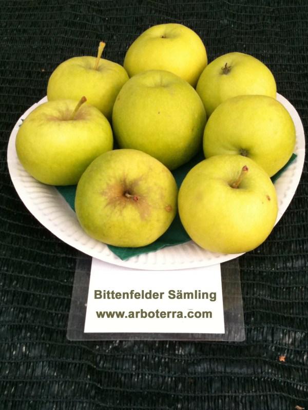 Bittenfelder Saemling - Apfelbaum – Alte Obstsorten Arboterra GmbH