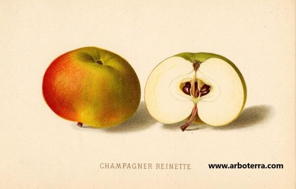 Champagnerrenette - Apfelbaum – Alte Obstsorten Arboterra GmbH