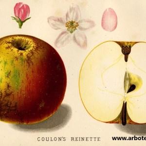 Coulons Renette - Apfelbaum – Alte Obstsorten Arboterra GmbH