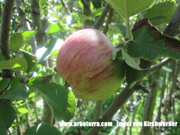 Juwel von Kirchwerder - Apfelbaum – Alte Obstsorten Arboterra GmbH