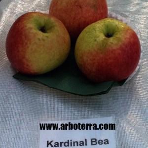 Kardinal Bea - Apfelbaum – Alte Obstsorten Arboterra GmbH