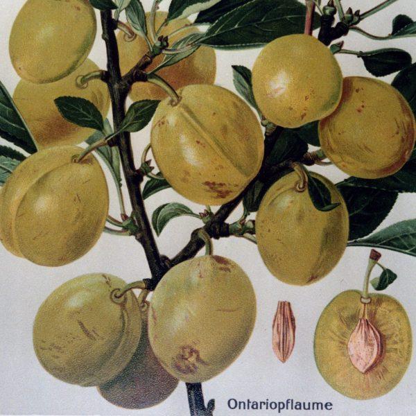 Ontariopflaume - Pflaumenbaum – Alte Obstsorten Arboterra GmbH