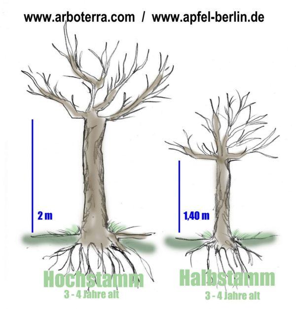 Wuchsform - Alte Obstsorten Arboterra GmbH