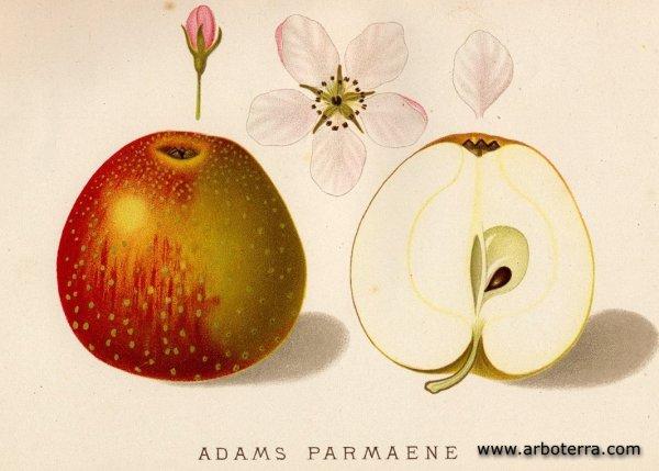 Adams Parmaene - Apfelbaum – Alte Obstsorten Arboterra GmbH