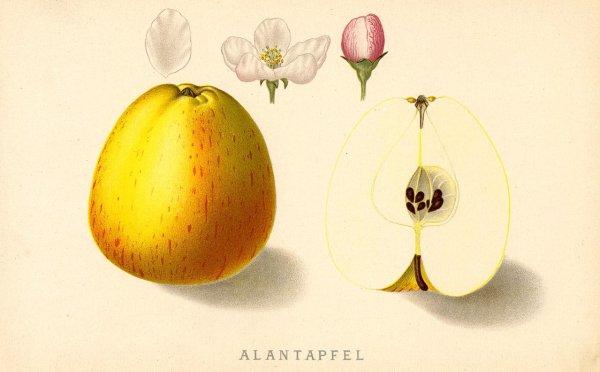 Alantapfel - Apfelbaum – Alte Obstsorten Arboterra GmbH