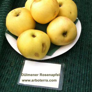 Duelmener Rosenapfel - Apfelbaum – Alte Obstsorten Arboterra GmbH