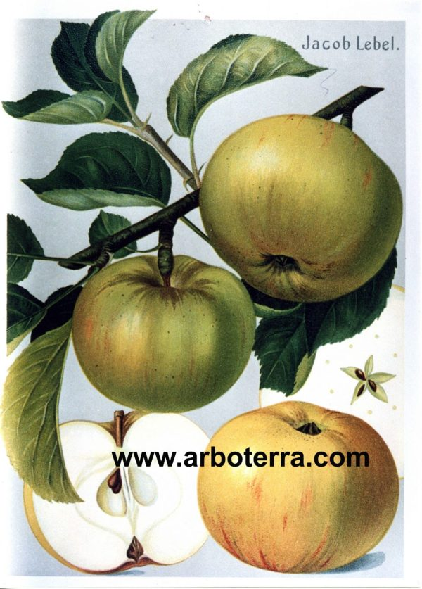 Jakob Lebel - Apfelbaum – Alte Obstsorten Arboterra GmbH