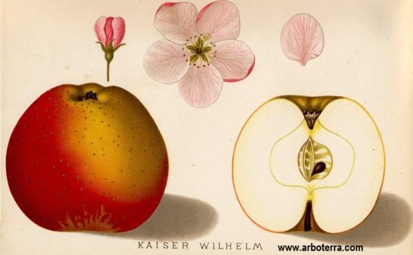 Kaiser Wilhelm - Apfelbaum – Alte Obstsorten Arboterra GmbH