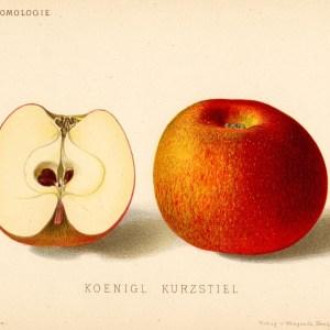 Koeniglicher Kurzstiel - Apfelbaum – Alte Obstsorten Arboterra GmbH