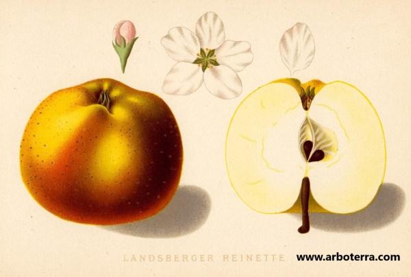 Landsberger Renette - Apfelbaum – Alte Obstsorten Arboterra GmbH
