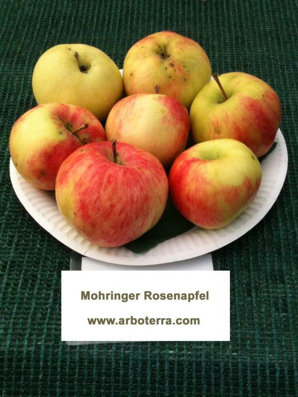 Mohringer Rosenapfel - Apfelbaum – Alte Obstsorten Arboterra GmbH