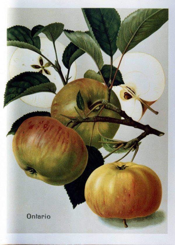 Ontarioapfel - Apfelbaum – Alte Obstsorten Arboterra GmbH