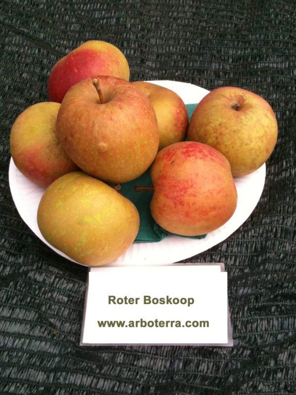 Roter Boskoop - Apfelbaum – Alte Obstsorten Arboterra GmbH