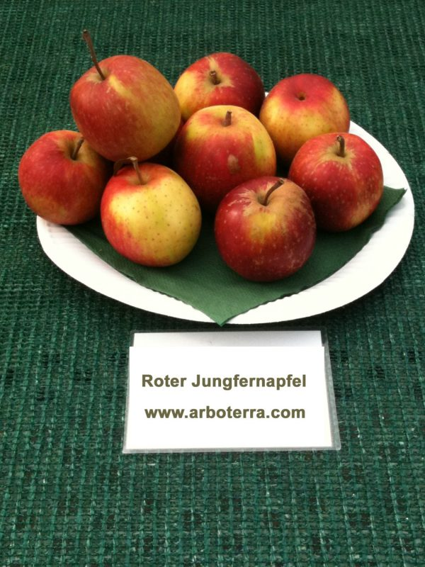 Roter Jungfernapfel - Apfelbaum – Alte Obstsorten Arboterra GmbH