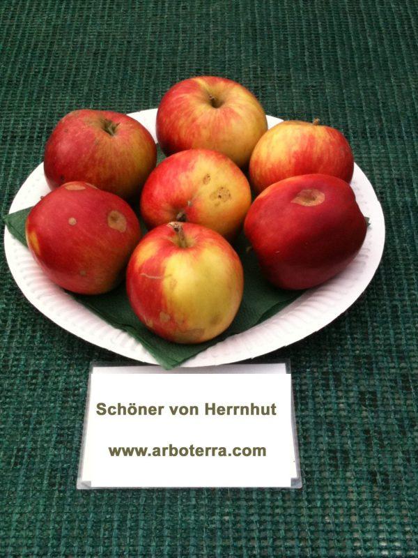 Schoener von Herrnhut - Apfelbaum – Alte Obstsorten Arboterra GmbH