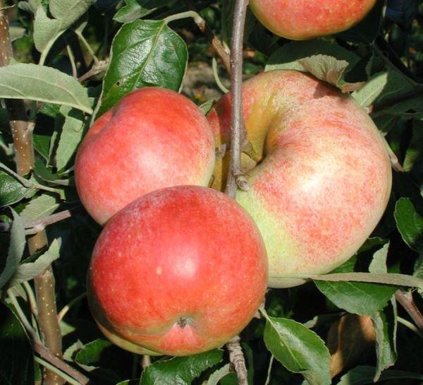 Schweizer Orange - Apfelbaum – Alte Obstsorten Arboterra GmbH