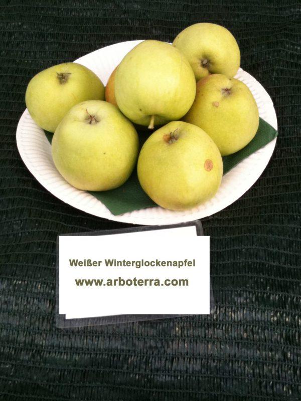 Weisser Winterglockenapfel - Apfelbaum – Alte Obstsorten Arboterra GmbH