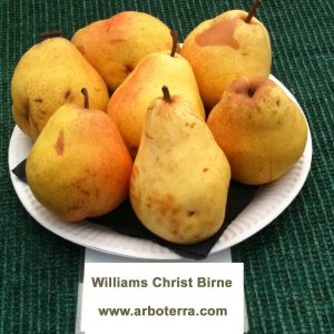 Williams Christ - Birnenbaum – Alte Obstsorten Arboterra GmbH