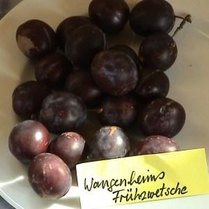 Wangenheims Fruehzwetsche - Pflaumenbaum – Alte Obstsorten Arboterra GmbH