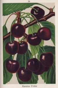 Kassins Fruehe Herzkirsche Kirschenbaum – Alte Obstsorten Arboterra GmbH