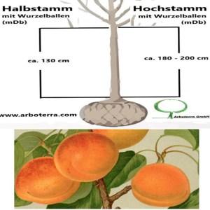 Pfirsich-/Aprikosenbaum (mit Wurzelballen / mDb)