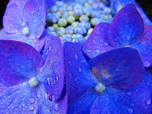 hortensia-bleu