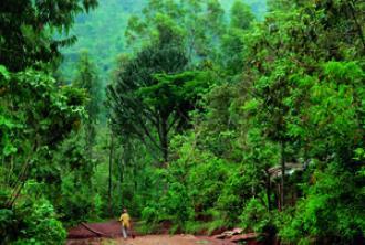 Agroforêts à café dans la région de Yrga Chefe en Ethiopie