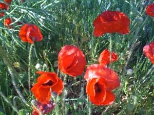 Stunning, scarlet, Sussex poppies