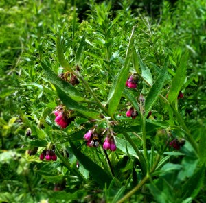 Spot the Bee - feeding on red comfrey at Arundel Wetlands Centre