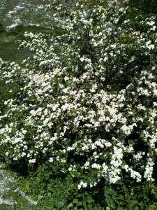 Hawthorn, cratageus