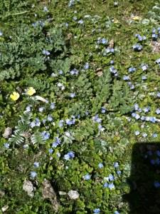 Speedwell, veronica chamaedrys