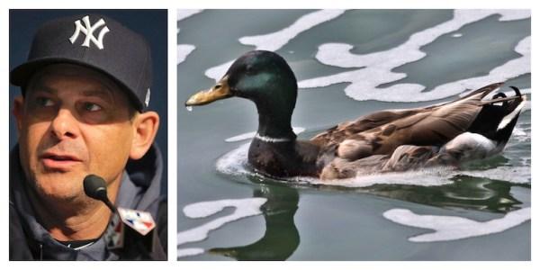 Quack, quack! Why Yankees