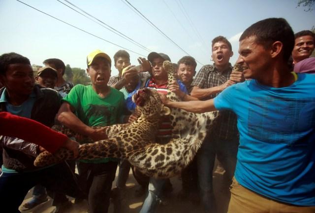 Lugareños llevan un leopardo muerto que fue abatido después de vagar por la ciudad de Katmandú, Nepal, el 10 de abril de 2013 (REUTERS/Navesh Chitrakar)