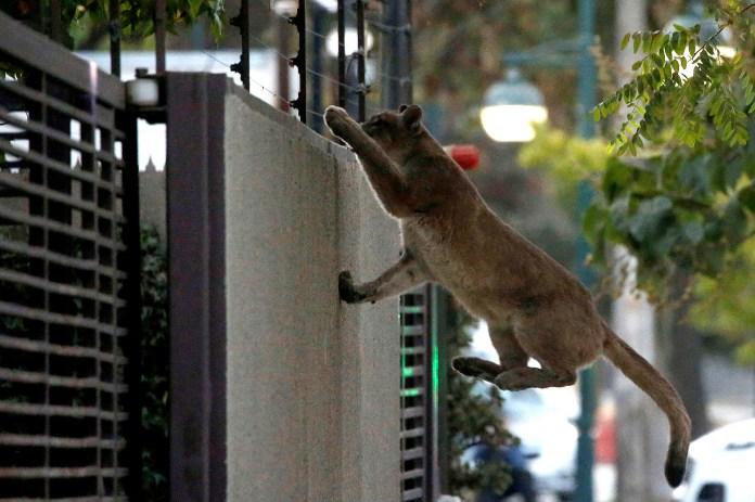 Un puma fue visto en las calles de Chile