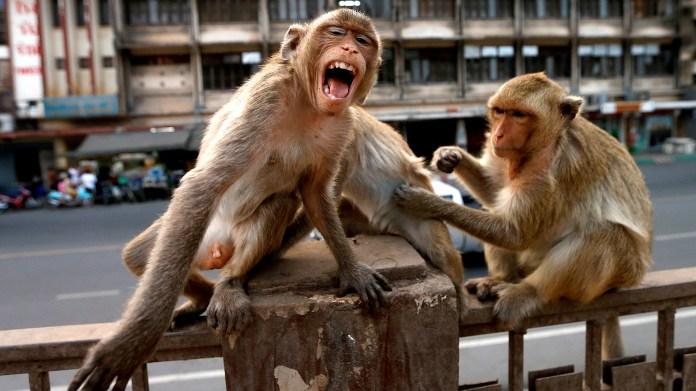 Los monos tomaron las calles de Tailandia durante las restricciones a la circulación por el coronavirus