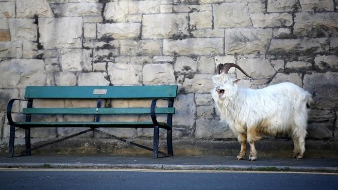 Una cabra en el Reino Unido